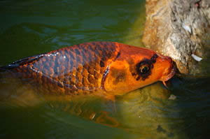 Photo of a Koi carp